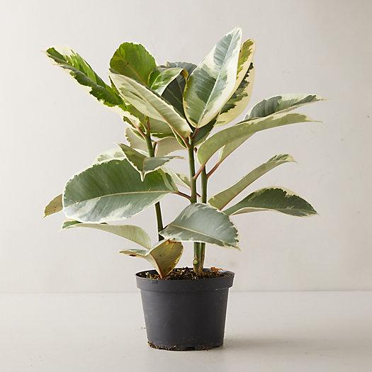 View larger image of Ficus Tineke