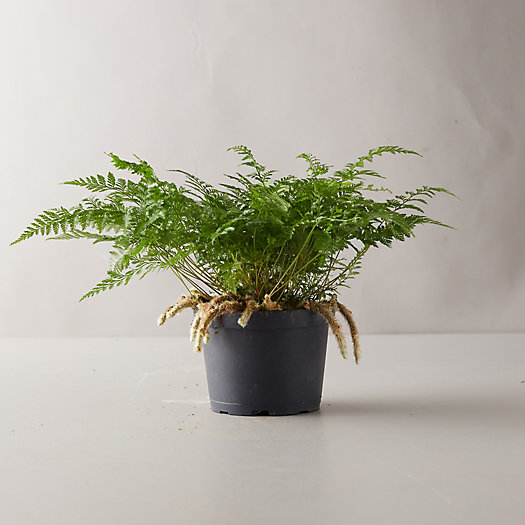 View larger image of Rabbit Foot Fern Plant