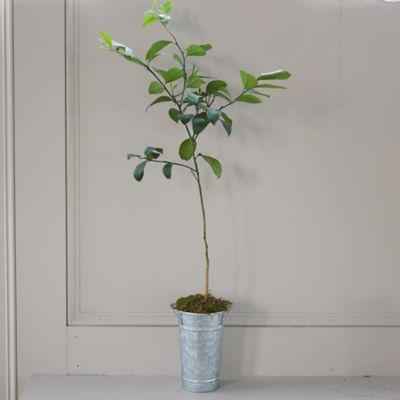 Meyer Lemon Tree, Galvanized Pot