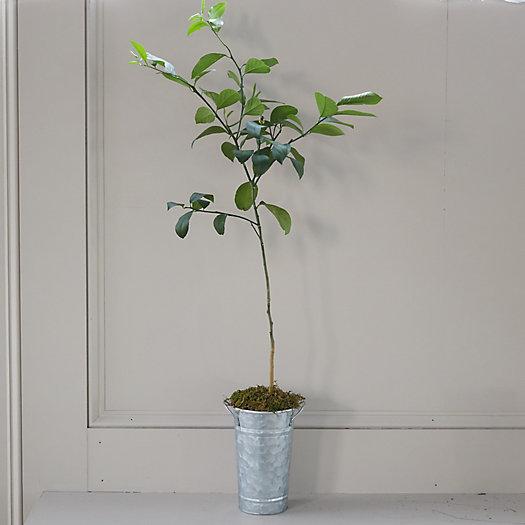 View larger image of Meyer Lemon Tree, Galvanized Pot
