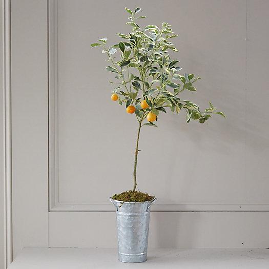 View larger image of Variegated Calamondin Orange Tree, Galvanized Pot