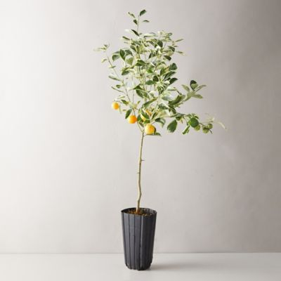 Variegated Calamondin Orange Tree