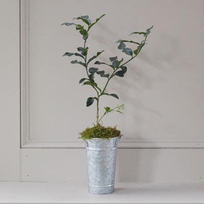 Makrut Lime Tree, Galvanized Pot