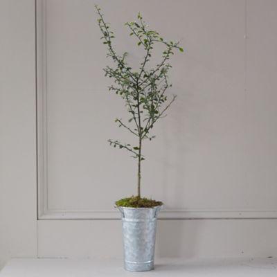 Australian Finger Lime Tree, Galvanized Pot