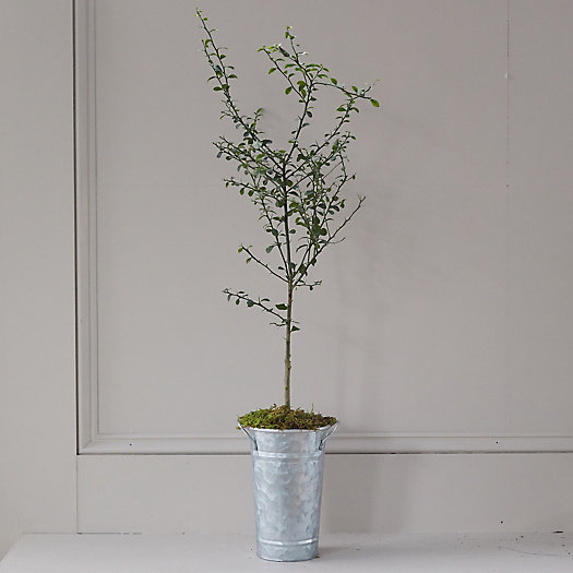 View larger image of Australian Finger Lime Tree, Galvanized Pot