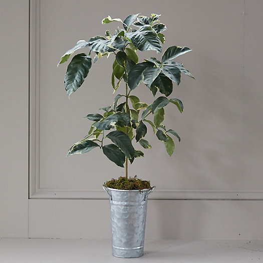 View larger image of Variegated Pink Lemon Tree, Galvanized Pot