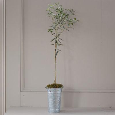 Arbequina Olive Tree, Galvanized Pot