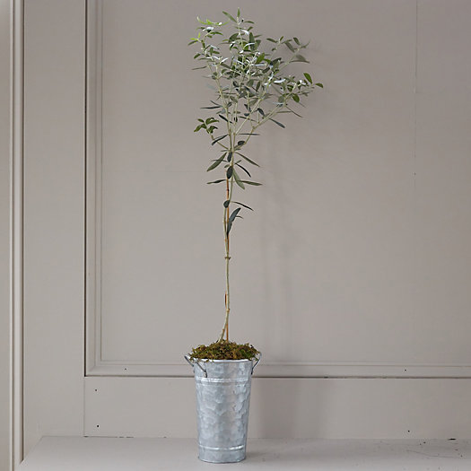 View larger image of Arbequina Olive Tree, Galvanized Pot