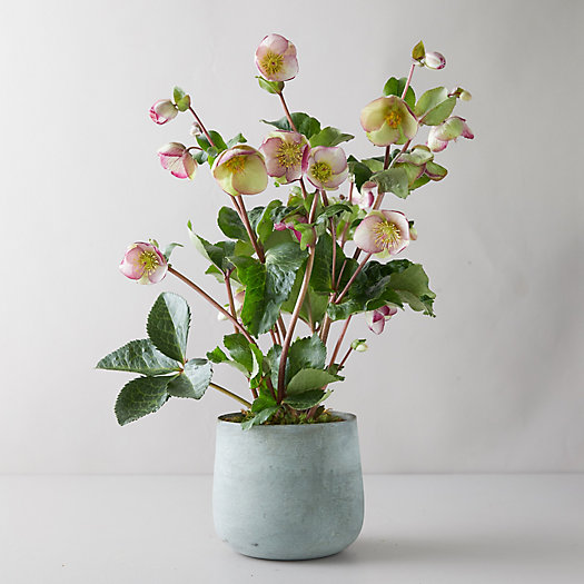 View larger image of Helleborus 'Frost Kiss Glenda's Gloss' Plant