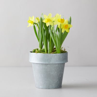 Tete a Tete Daffodil Bulbs, Distressed Metal Pot