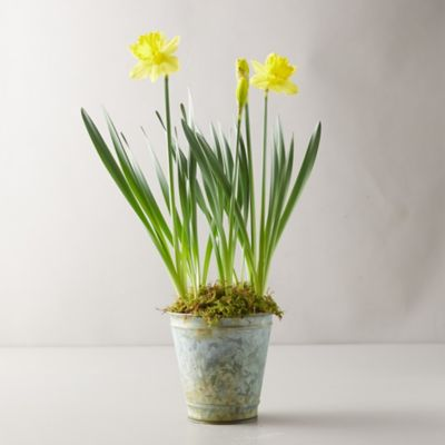 Daffodil Bulbs, Distressed Metal Pot