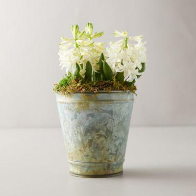 White Hyacinth Bulbs, Distressed Metal Pot