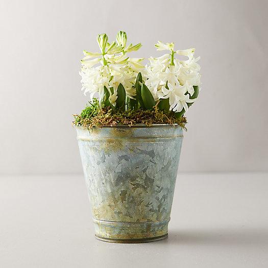 View larger image of White Hyacinth Bulbs, Distressed Metal Pot