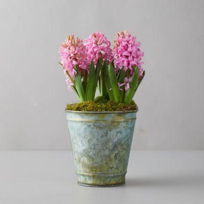 Pink Hyacinth Bulbs, Distressed Metal Pot