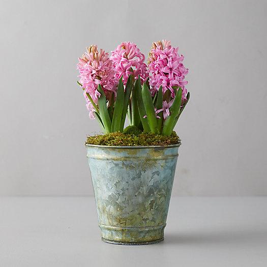 View larger image of Pink Hyacinth Bulbs, Distressed Metal Pot
