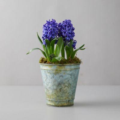 Purple Hyacinth Bulbs, Distressed Metal Pot