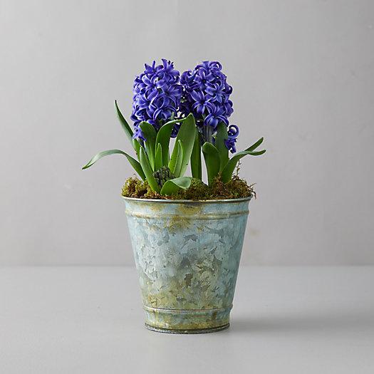 View larger image of Purple Hyacinth Bulbs, Distressed Metal Pot
