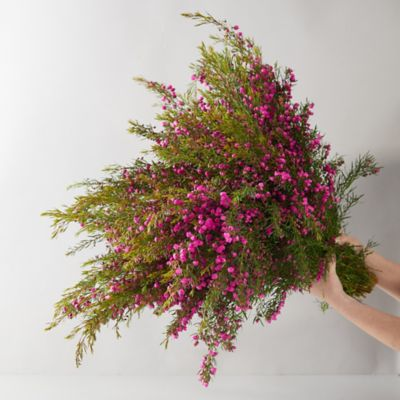 Fresh Cut Boronia Bunch