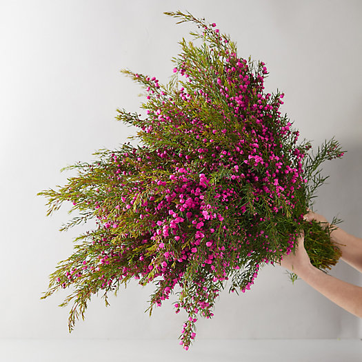 View larger image of Fresh Cut Boronia Bunch