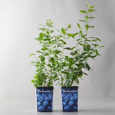 Legacy Blueberry Shrubs, Set of 2