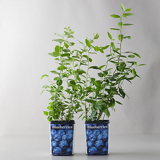 View larger image of Legacy Blueberry Shrubs, Set of 2