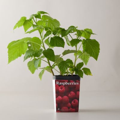 Red Heritage Raspberry Vine