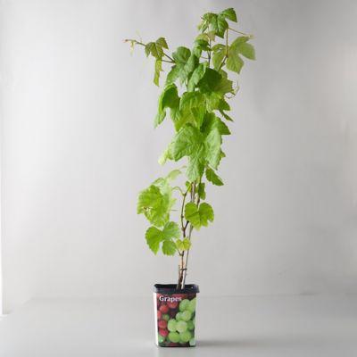 Concord Grape Vine