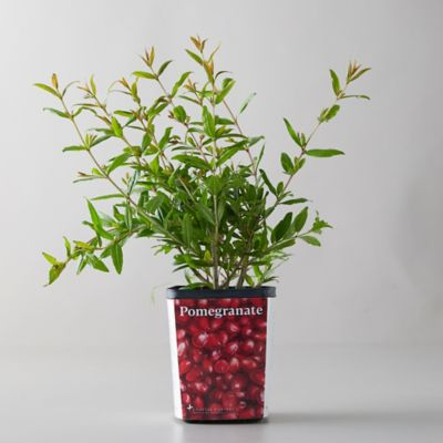 Pomegranate 'Wonderful' Shrub