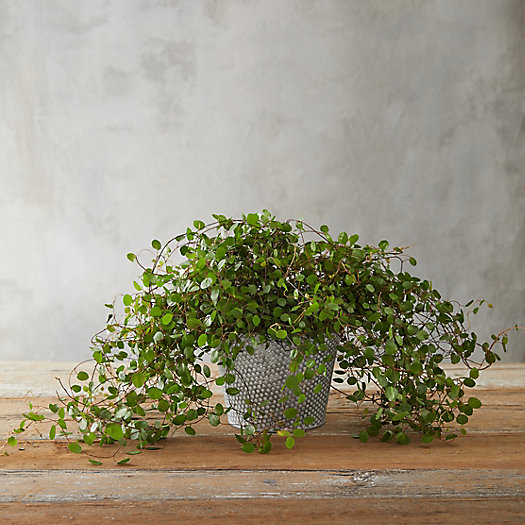 View larger image of Angel Vine, Distressed Metal Pot