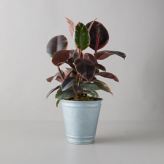 View larger image of Tineke Ruby Ficus Plant, Gray Metal Pot