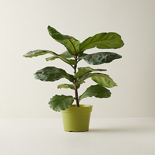 View larger image of Fiddle Leaf Fig Plant