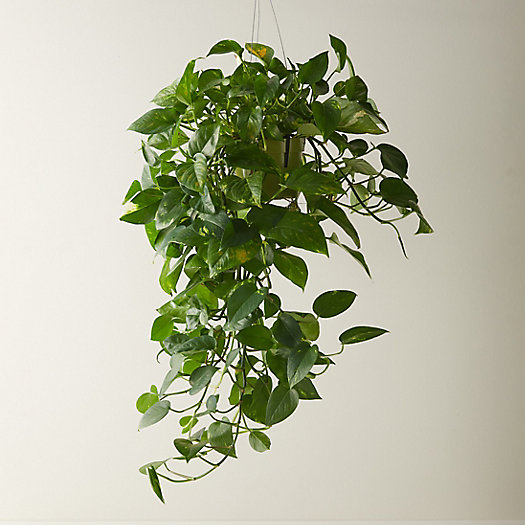 View larger image of Pothos