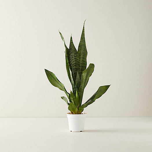 View larger image of Snake Plant, 4""