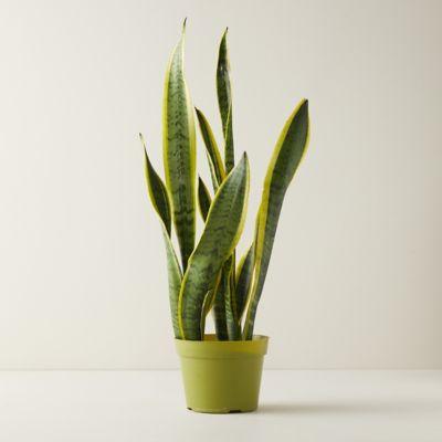 """Snake Plant, 6"""""""