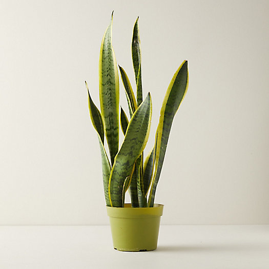 View larger image of Snake Plant, 6""