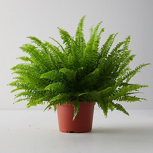 View larger image of Boston Fern Plant