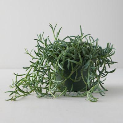 Senecio 'Fish Hooks' Plant