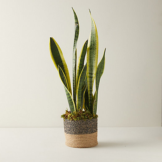 View larger image of Snake Plant, Jute Pot