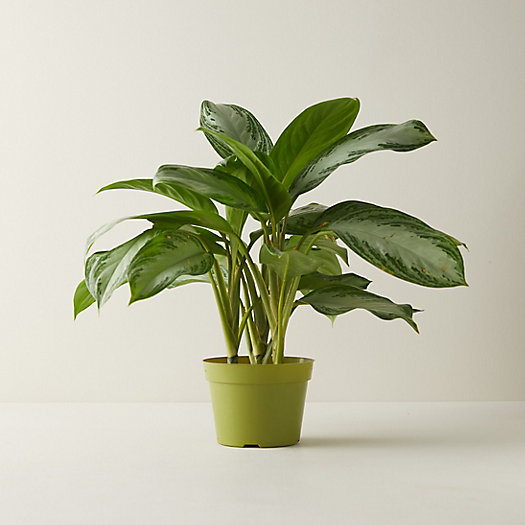 View larger image of Aglaonema Silver Bay