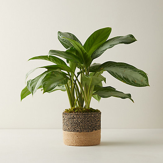 View larger image of Aglaonema Silver Bay, Jute Pot