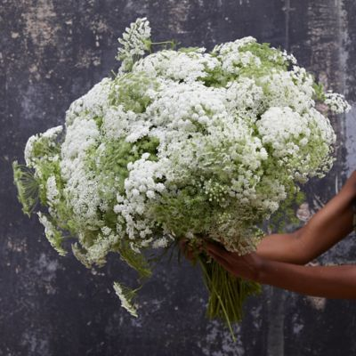 Fresh Queen Anne's Lace Bunch