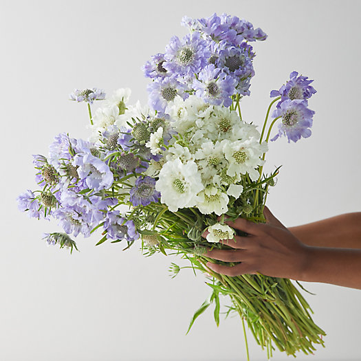 View larger image of Fresh Blue + White Scabiosa Bunch