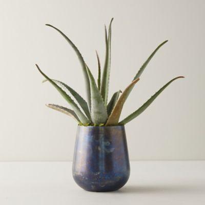Aloe Plant, Blue Pot