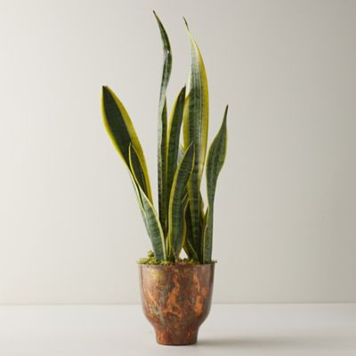 Snake Plant, Copper Pot