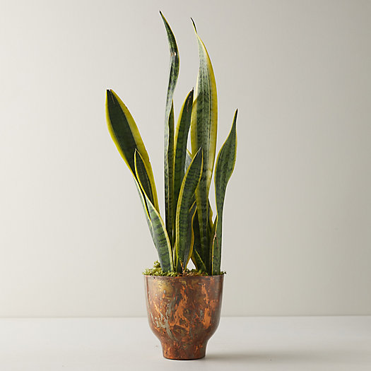 View larger image of Snake Plant, Copper Pot