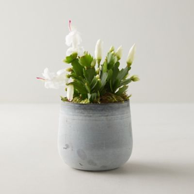 White Summer Cactus, Metal Pot