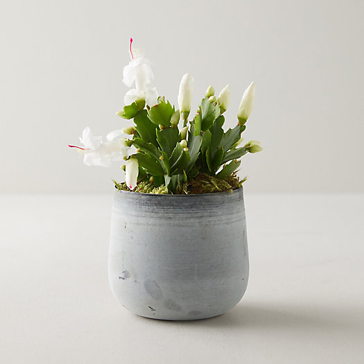 View larger image of White Zygo Cactus, Metal Pot