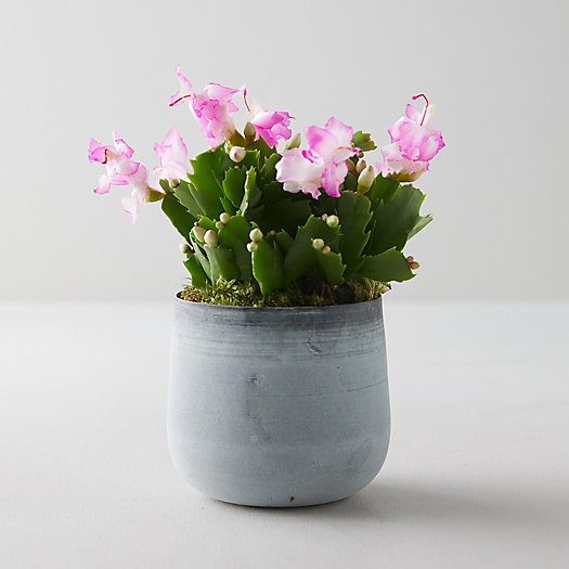 View larger image of Pink Summer Cactus, Metal Pot
