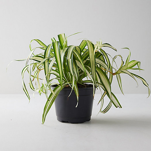 View larger image of Spider Plant