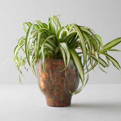 Spider Plant, Copper Pot